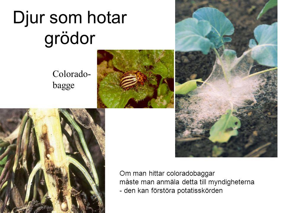 Djur som hotar grödor Colorado- bagge Om man hittar coloradobaggar måste man anmäla detta till myndigheterna - den kan förstöra potatisskörden