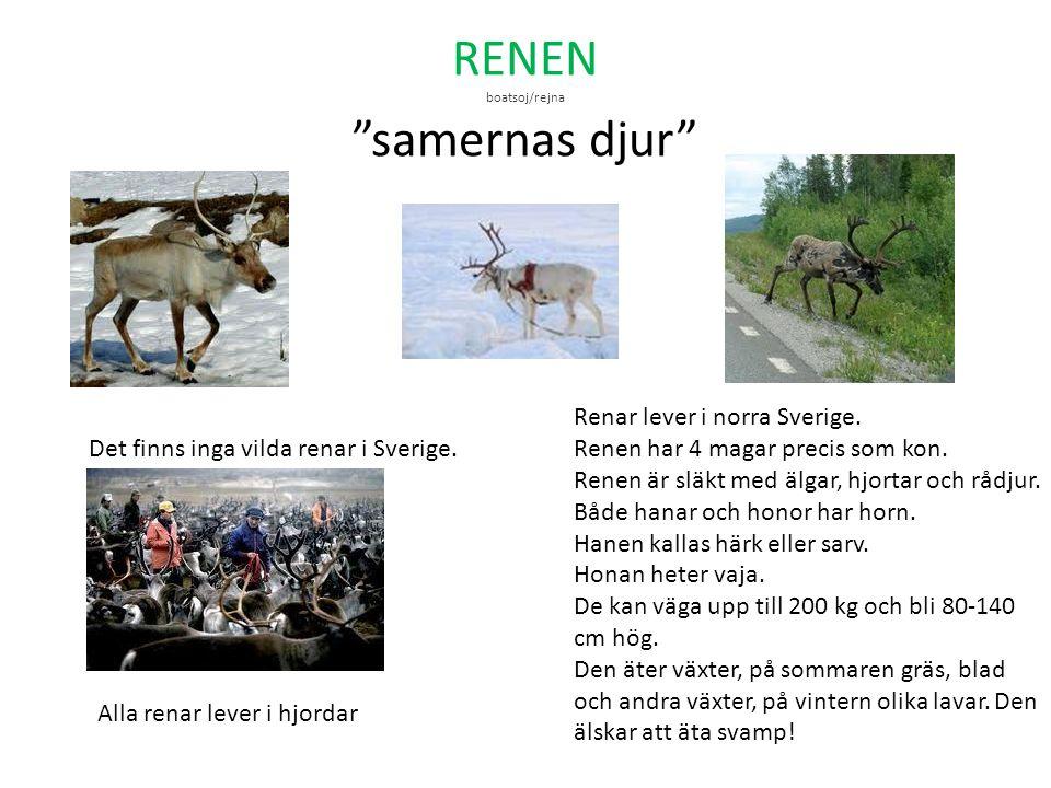 """RENEN boatsoj/rejna """"samernas djur"""" Renar lever i norra Sverige. Renen har 4 magar precis som kon. Renen är släkt med älgar, hjortar och rådjur. Både"""