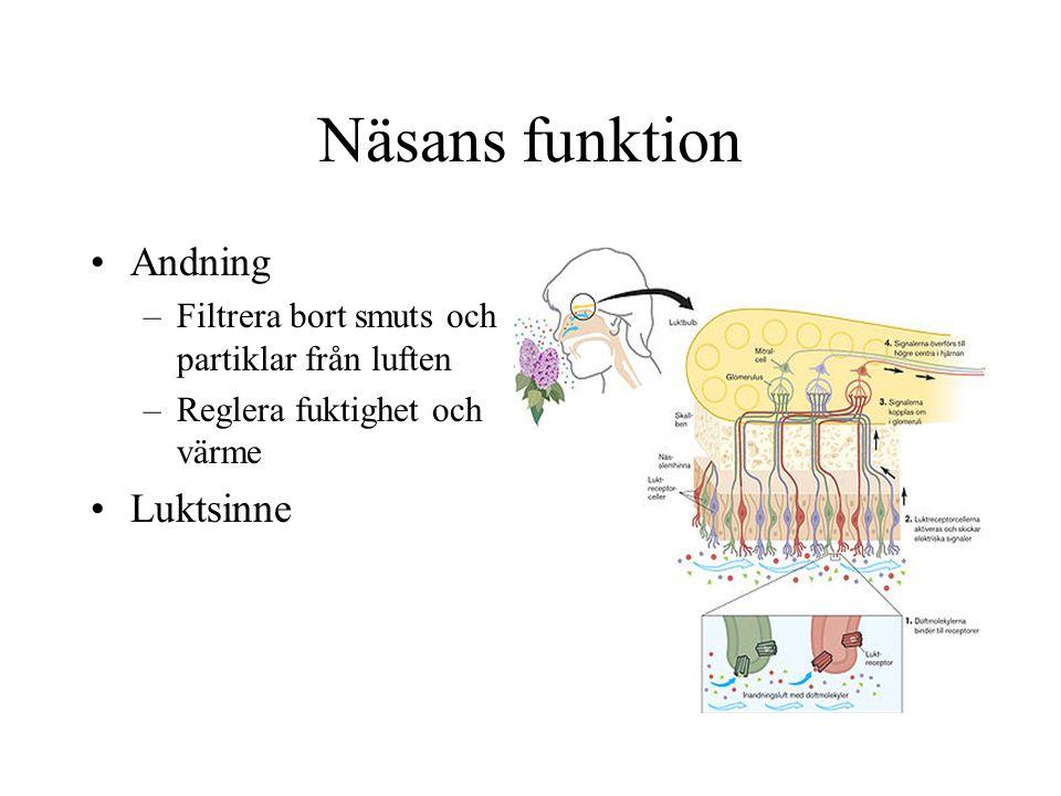 Näsans funktion •Andning –Filtrera bort smuts och partiklar från luften –Reglera fuktighet och värme •Luktsinne