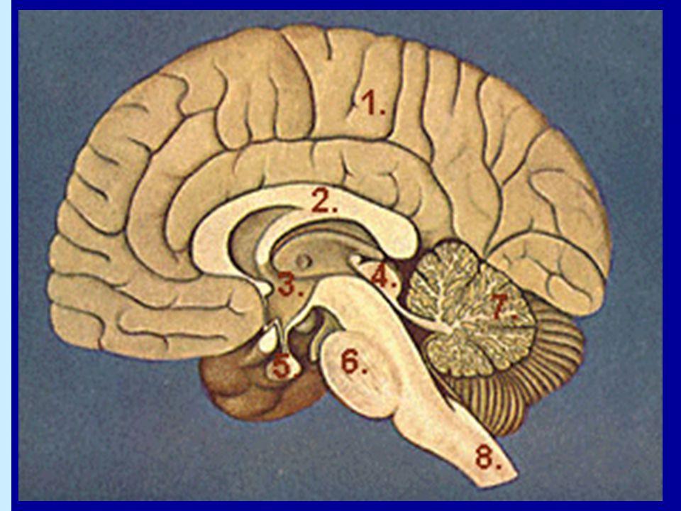 Binjuremärgen •Av neuronalt ursprung •Producerar stresshormoner:  Adrenalin (epinefrin)  Noradrenalin •Olika målceller har olika receptoruppsättningar