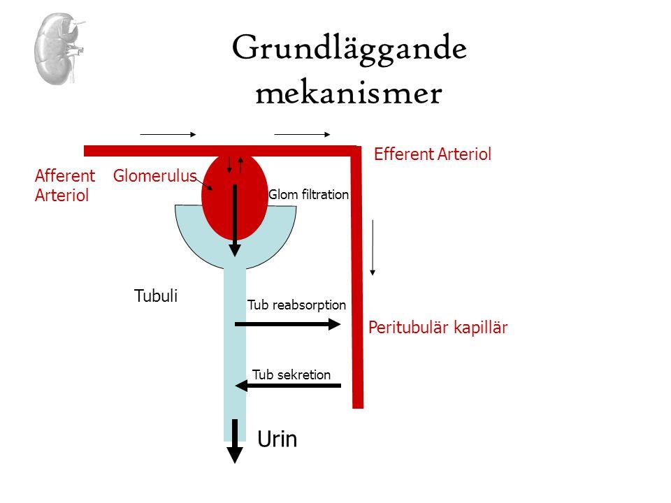 Grundläggande mekanismer Glom filtration Tub reabsorption Tub sekretion Urin Efferent Arteriol Afferent Arteriol Glomerulus Tubuli Peritubulär kapillä