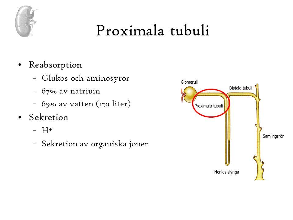 Proximala tubuli •Reabsorption –Glukos och aminosyror –67% av natrium –65% av vatten (120 liter) •Sekretion –H + –Sekretion av organiska joner