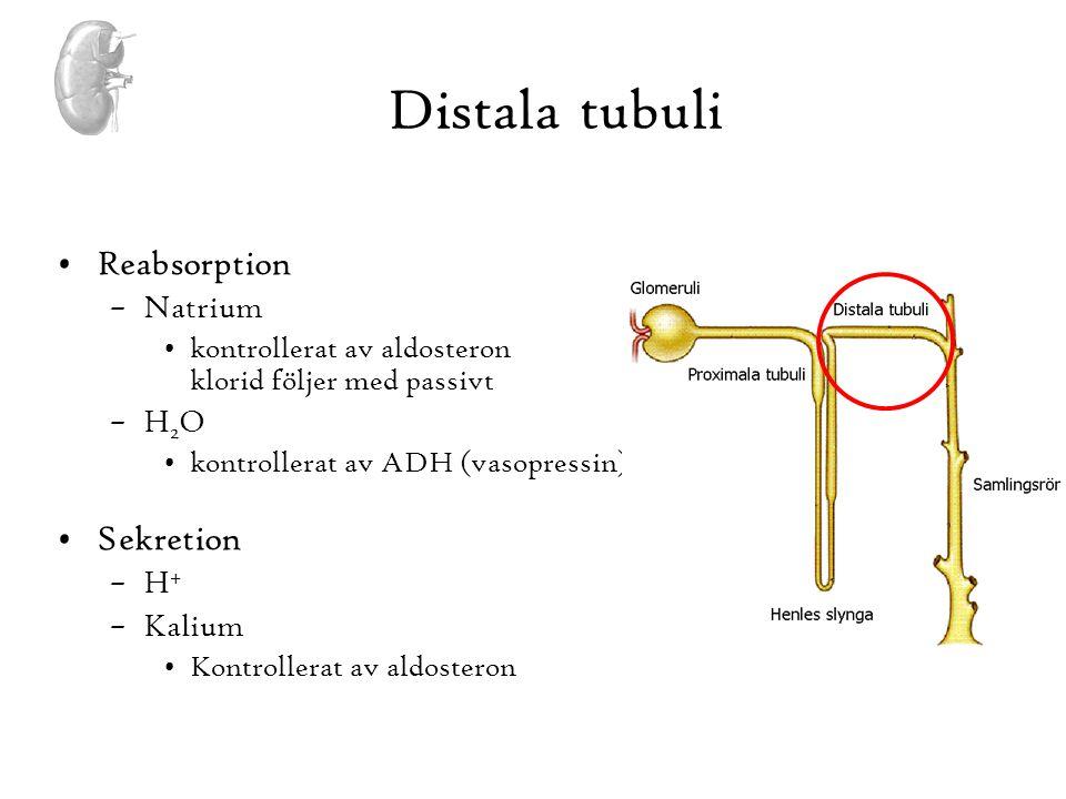 Distala tubuli •Reabsorption –Natrium •kontrollerat av aldosteron klorid följer med passivt –H 2 O •kontrollerat av ADH (vasopressin) •Sekretion –H +