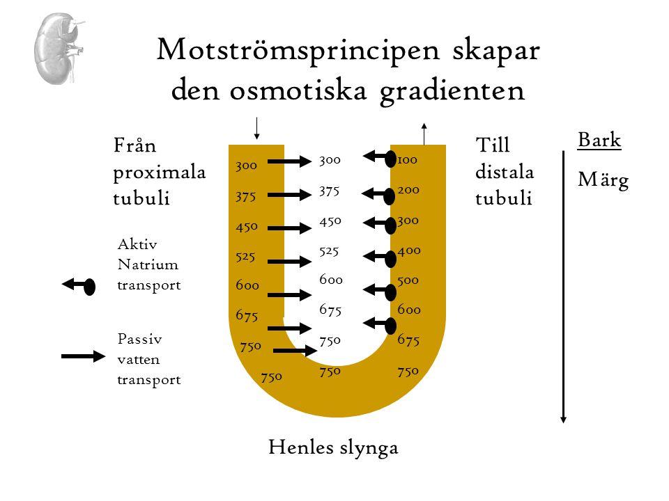 Motströmsprincipen skapar den osmotiska gradienten 300 375 450 525 600 675 750 Från proximala tubuli Till distala tubuli Bark Märg 300 375 450 525 600