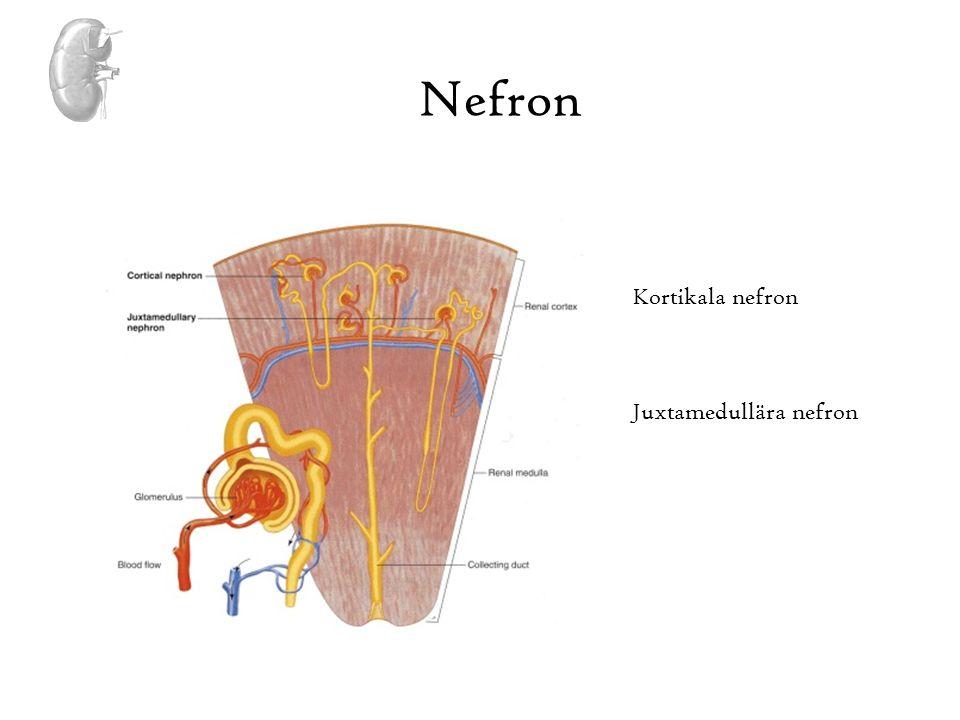 Juxtaglomerulära apparaten Tubuloglomerulär feedback Ökat Na och H2O i distala tubuli känns av macula densa och leder till konstriktion av afferenta arterioler