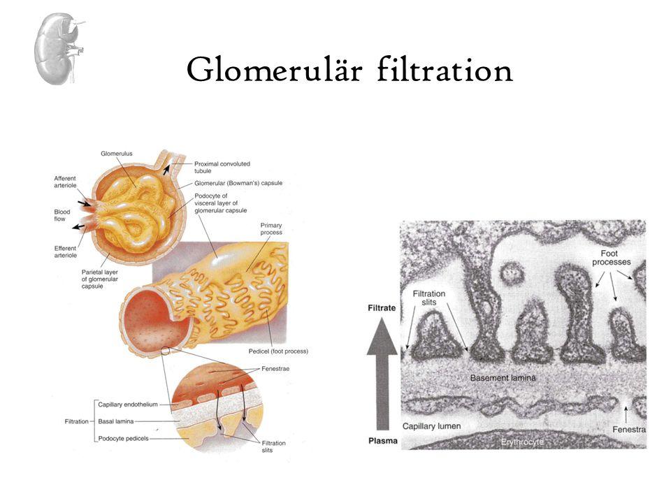 Glomerulär filtration •Första steget i urinproduktion •GFR 125 ml/min •180 liter primärurin