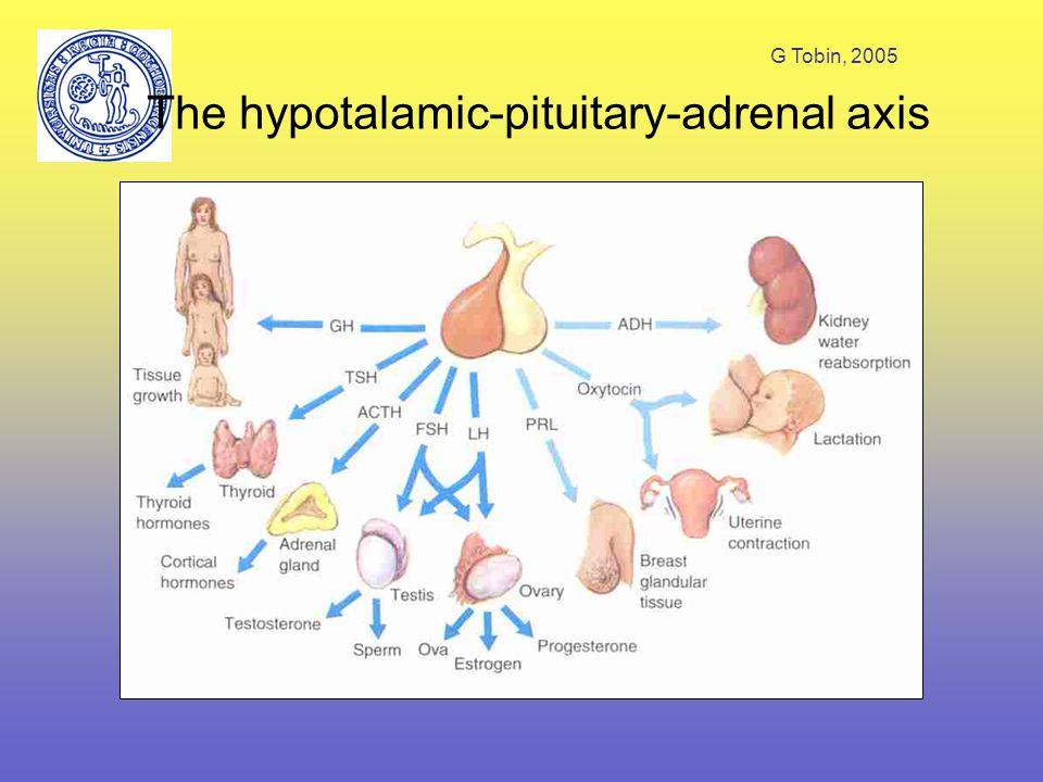G Tobin, 2005 The hypotalamic-pituitary-adrenal axis Hypotalamus – corticotrophin releasing hormone (CRH) Hypofysen – corticoptrophin (adrenocorticotrophic hormone (ACTH) Binjurebark – glukokortikoider, mineralokortikoid (RAAS)