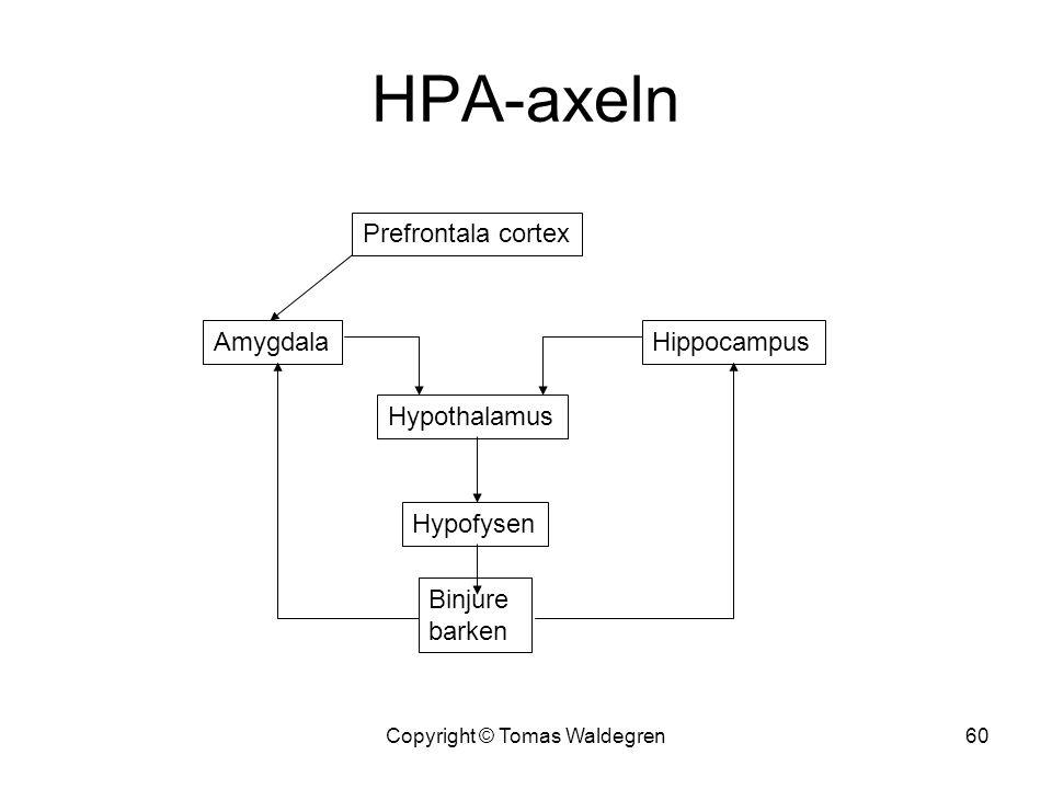 HPA-axeln Hypothalamus Hypofysen Binjure barken HippocampusAmygdala Prefrontala cortex 60Copyright © Tomas Waldegren