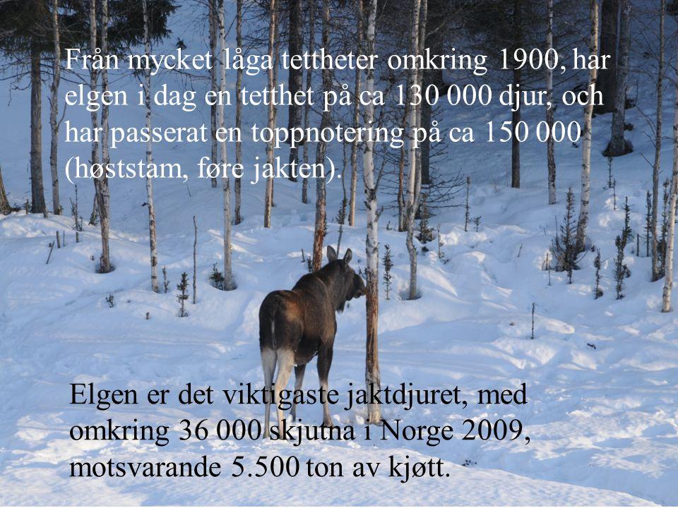 Från mycket låga tettheter omkring 1900, har elgen i dag en tetthet på ca 130 000 djur, och har passerat en toppnotering på ca 150 000 (høststam, føre