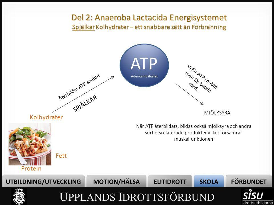 Del 2: Anaeroba Lactacida Energisystemet Spjälkar Kolhydrater – ett snabbare sätt än Förbränning ATP Adenosintrifosfat Kolhydrater Fett Protein Återbi