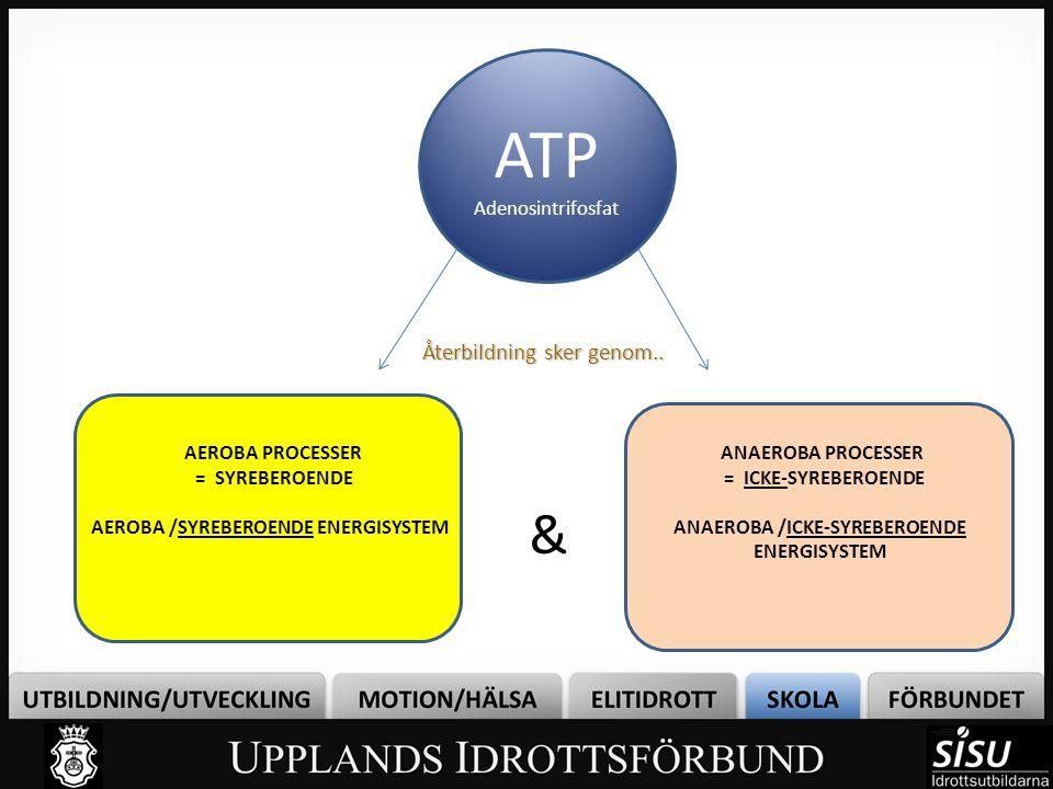 ATP Adenosintrifosfat Återbildning sker genom.. AEROBA PROCESSER = SYREBEROENDE AEROBA /SYREBEROENDE ENERGISYSTEM ANAEROBA PROCESSER = ICKE-SYREBEROEN