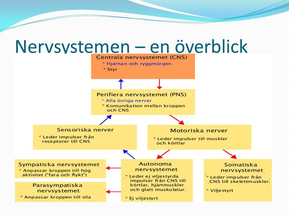 Nervsystemet - PNS Perifera Nervsystemet (PNS).