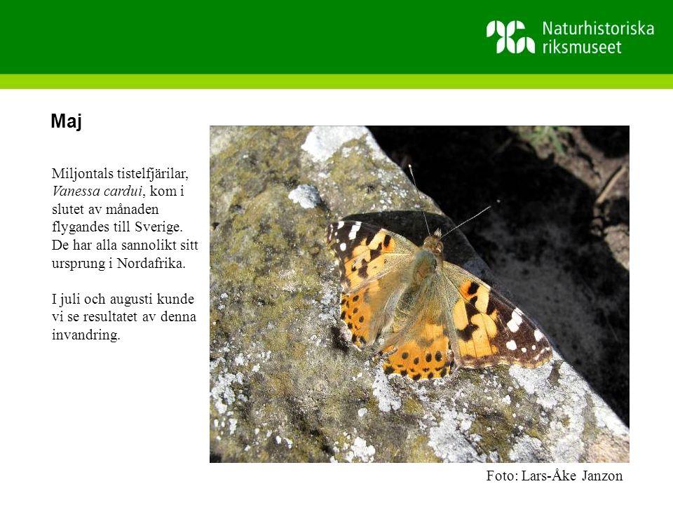 Maj Miljontals tistelfjärilar, Vanessa cardui, kom i slutet av månaden flygandes till Sverige.