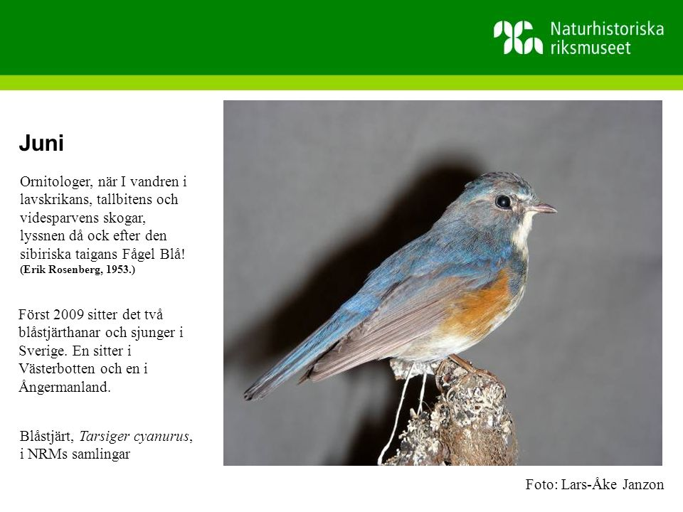 Juni Först 2009 sitter det två blåstjärthanar och sjunger i Sverige.