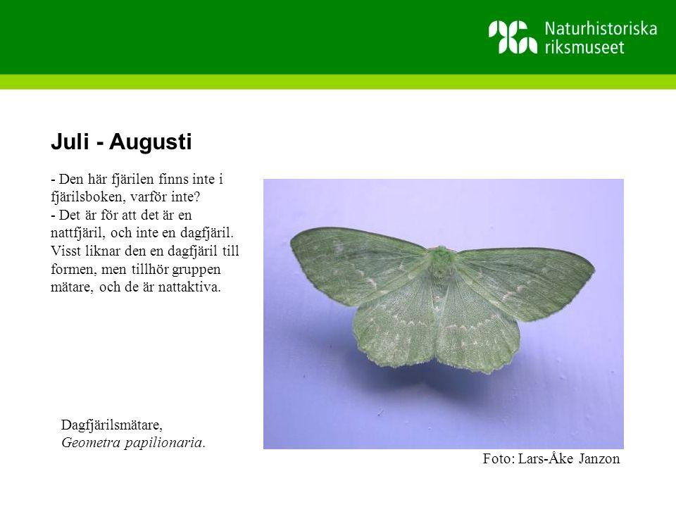 Juli - Augusti - Den här fjärilen finns inte i fjärilsboken, varför inte.