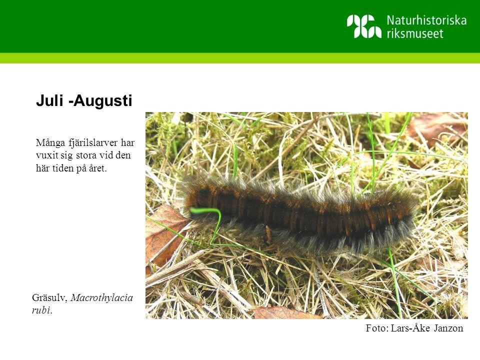 Juli -Augusti Många fjärilslarver har vuxit sig stora vid den här tiden på året.