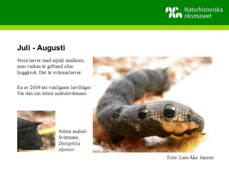 Juli - Augusti Stora larver med mjukt analhorn, som varken är gifttand eller huggkrok.