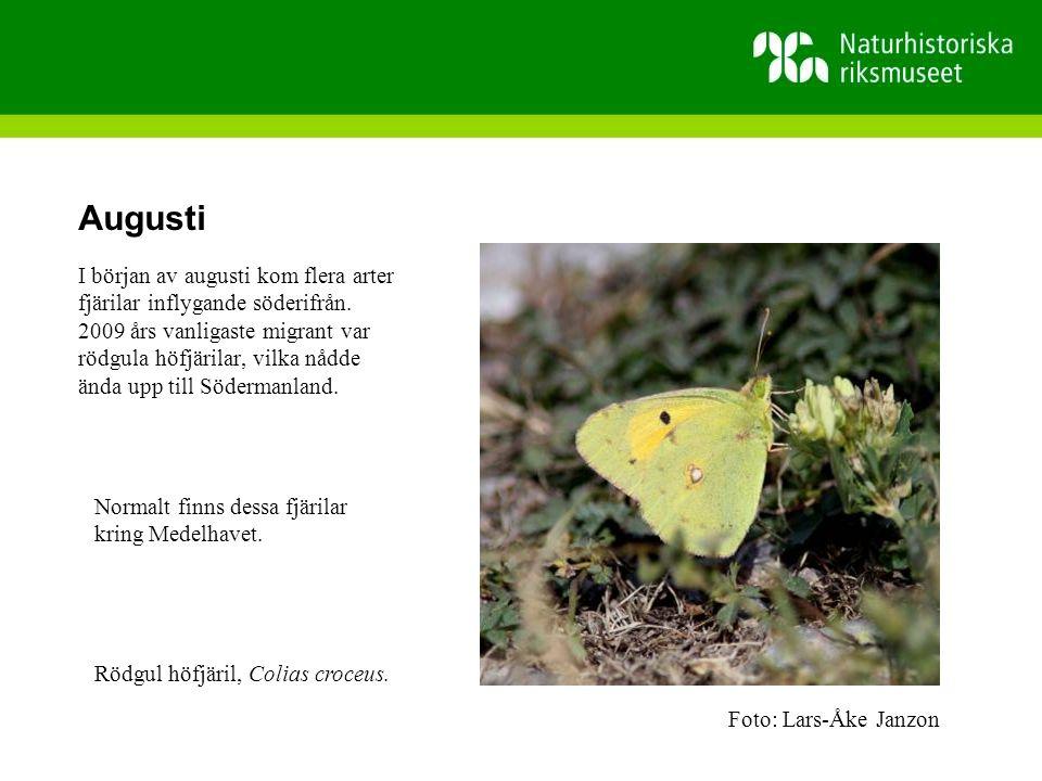 Augusti I början av augusti kom flera arter fjärilar inflygande söderifrån.