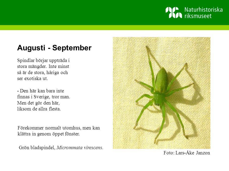 Augusti - September Spindlar börjar uppträda i stora mängder.