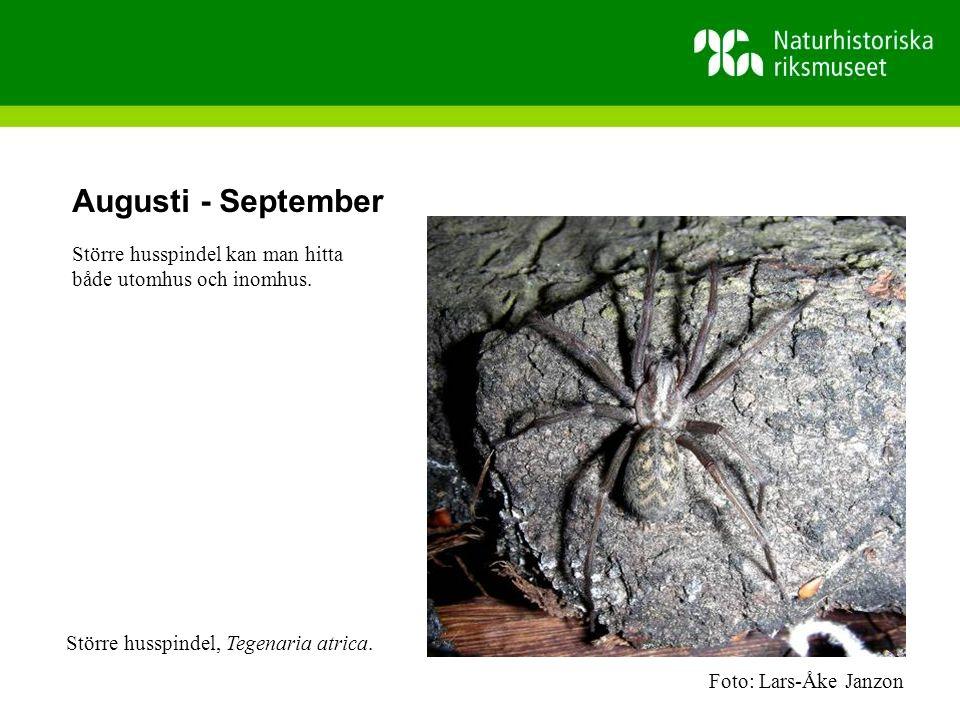 Augusti - September Större husspindel kan man hitta både utomhus och inomhus.