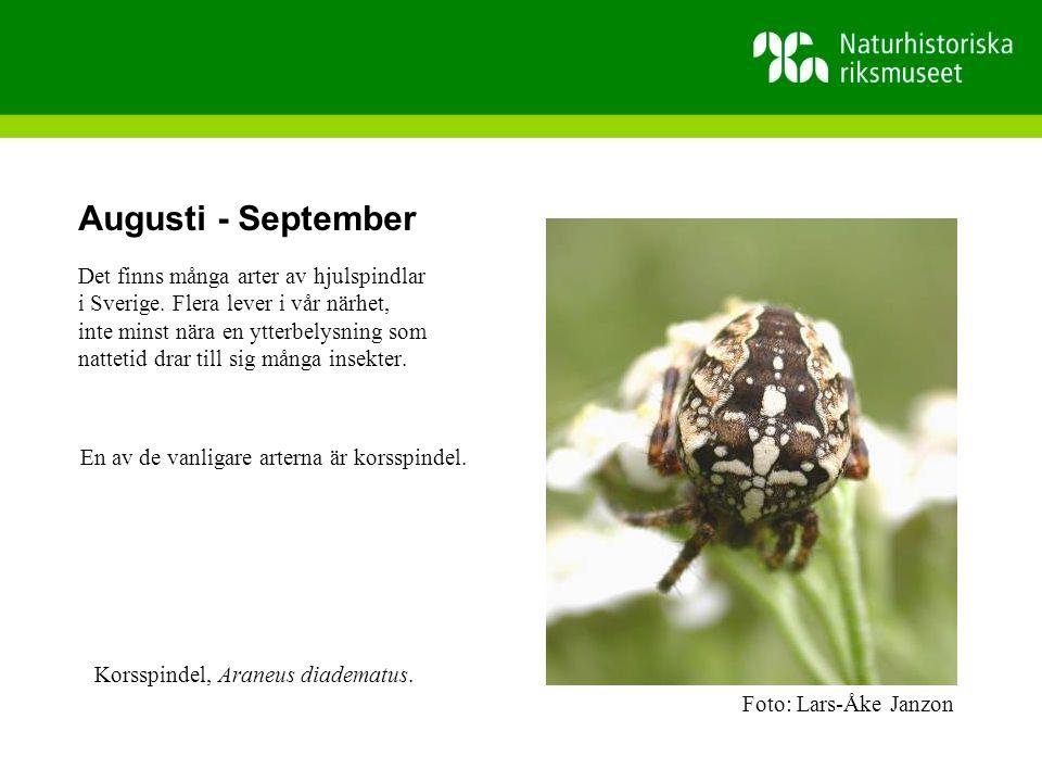 Augusti - September Det finns många arter av hjulspindlar i Sverige.