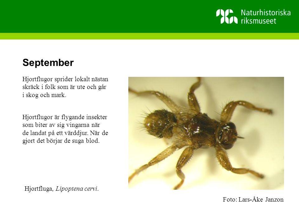 September Hjortflugor sprider lokalt nästan skräck i folk som är ute och går i skog och mark.