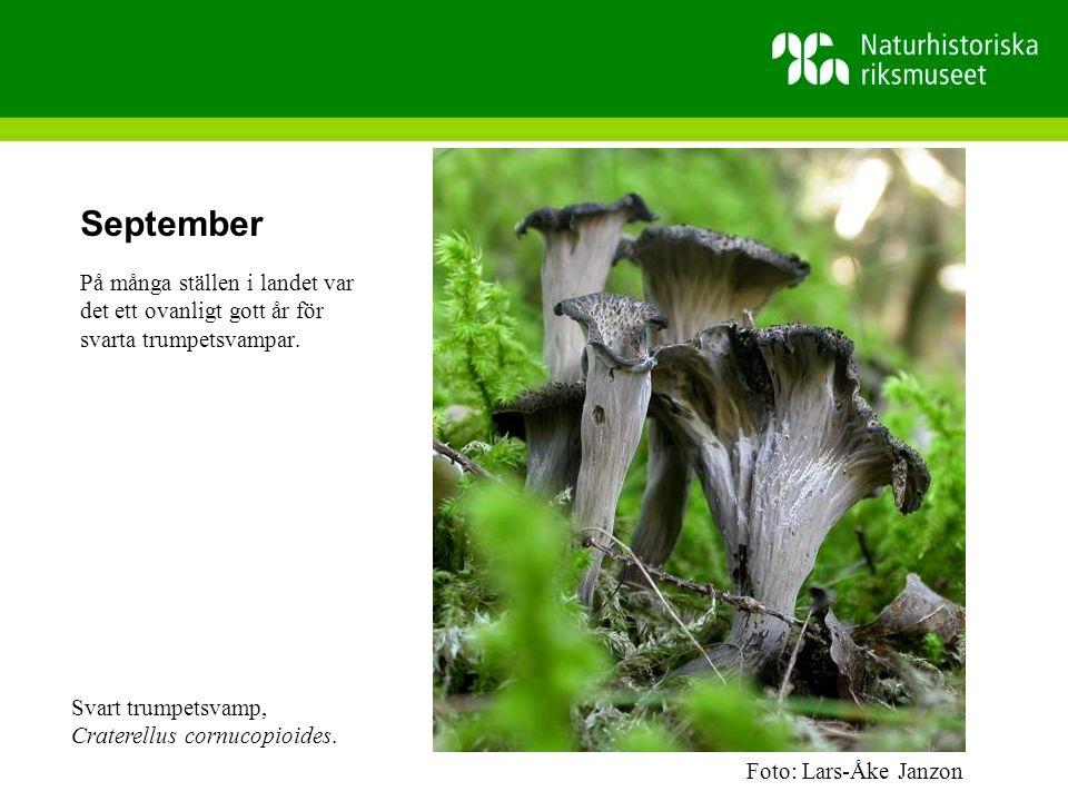 September På många ställen i landet var det ett ovanligt gott år för svarta trumpetsvampar.