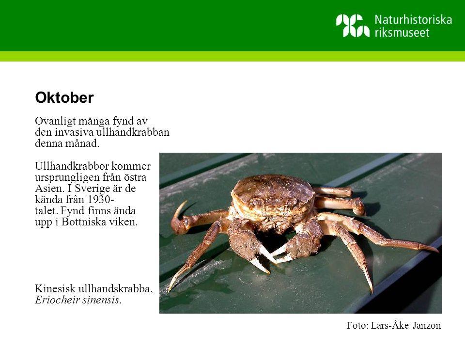 Oktober Ovanligt många fynd av den invasiva ullhandkrabban denna månad.