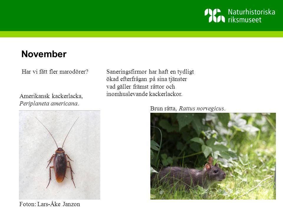 November Saneringsfirmor har haft en tydligt ökad efterfrågan på sina tjänster vad gäller främst råttor och inomhuslevande kackerlackor.