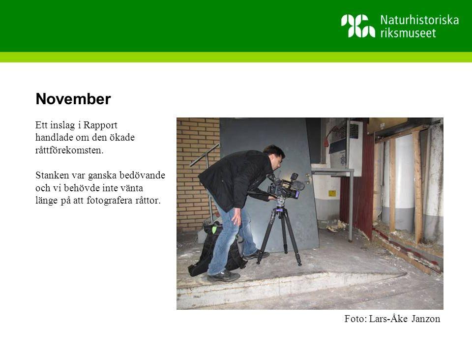 November Ett inslag i Rapport handlade om den ökade råttförekomsten.