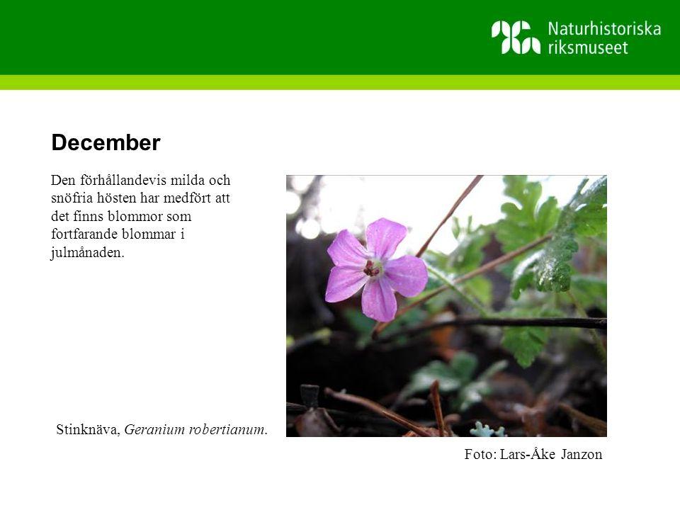 December Den förhållandevis milda och snöfria hösten har medfört att det finns blommor som fortfarande blommar i julmånaden.