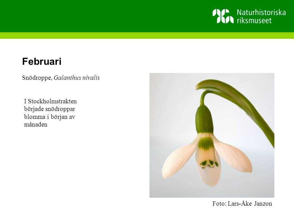 Februari Snödroppe, Galanthus nivalis I Stockholmstrakten började snödroppar blomma i början av månaden Foto: Lars-Åke Janzon