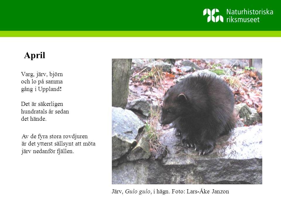 Varg, järv, björn och lo på samma gång i Uppland.Det är säkerligen hundratals år sedan det hände.