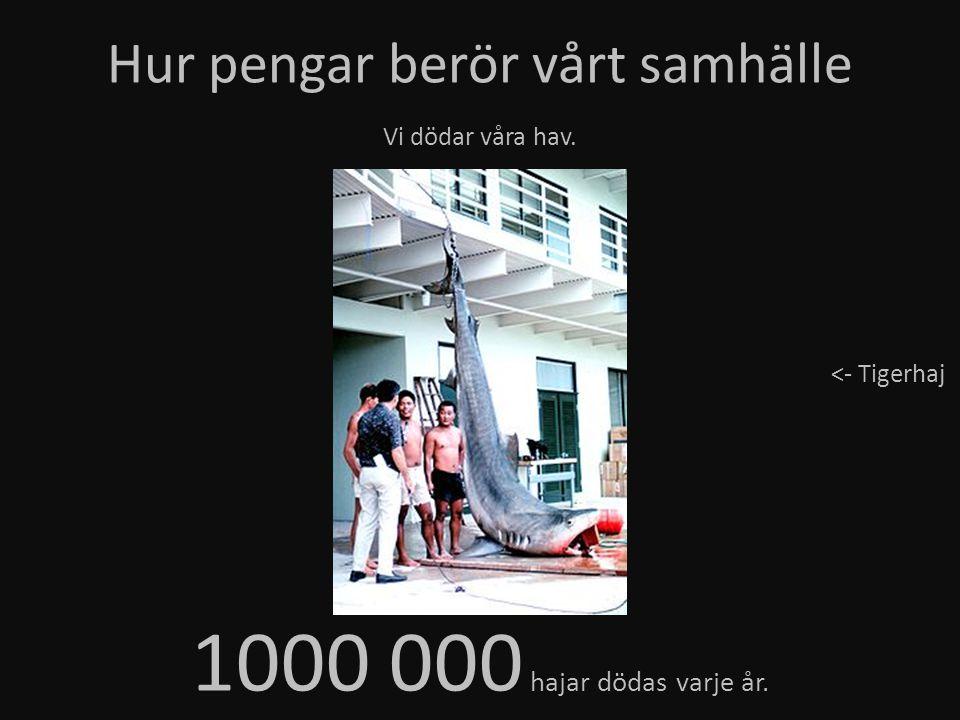 Hur pengar berör vårt samhälle Vi dödar våra hav. 1000 000 hajar dödas varje år. <- Tigerhaj
