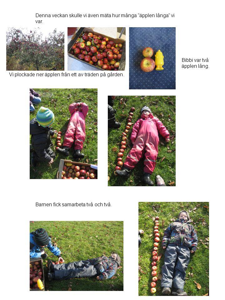 """Denna veckan skulle vi även mäta hur många """"äpplen långa"""" vi var. Bibbi var två äpplen lång. Vi plockade ner äpplen från ett av träden på gården. Barn"""