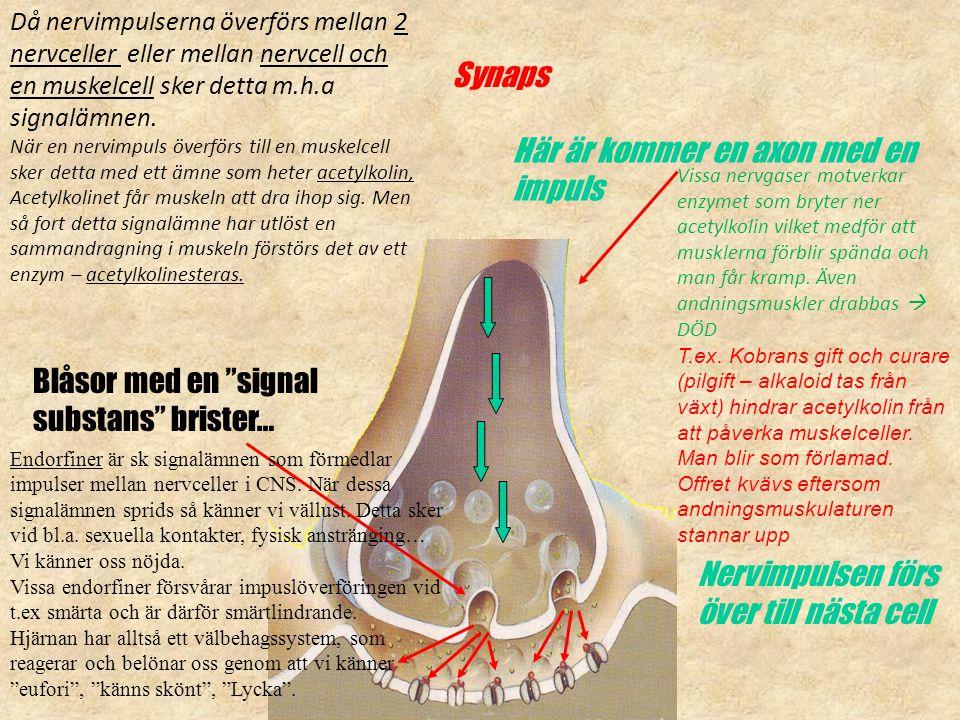 """Synaps Här är kommer en axon med en impuls Blåsor med en """"signal substans"""" brister… Nervimpulsen förs över till nästa cell Då nervimpulserna överförs"""
