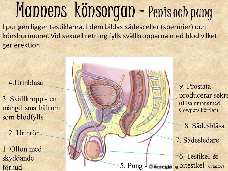 Mannens könsorgan – Penis och pung 1. Ollon med skyddande förhud 2. Urinrör 3. Svällkropp - en mängd små hålrum som blodfylls. 4.Urinblåsa 6. Testikel