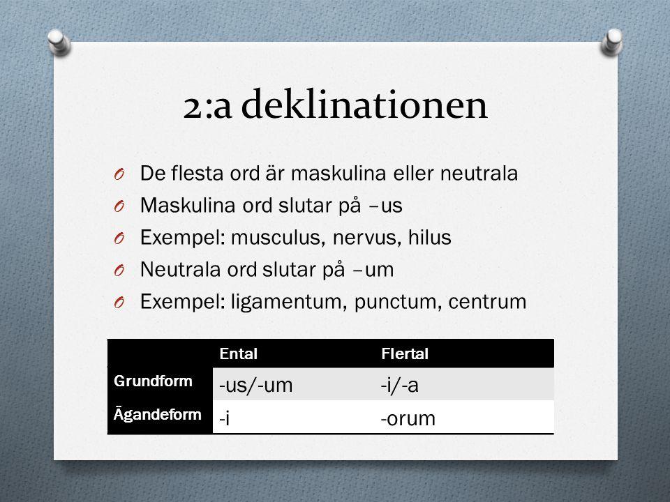 2:a deklinationen O De flesta ord är maskulina eller neutrala O Maskulina ord slutar på –us O Exempel: musculus, nervus, hilus O Neutrala ord slutar p