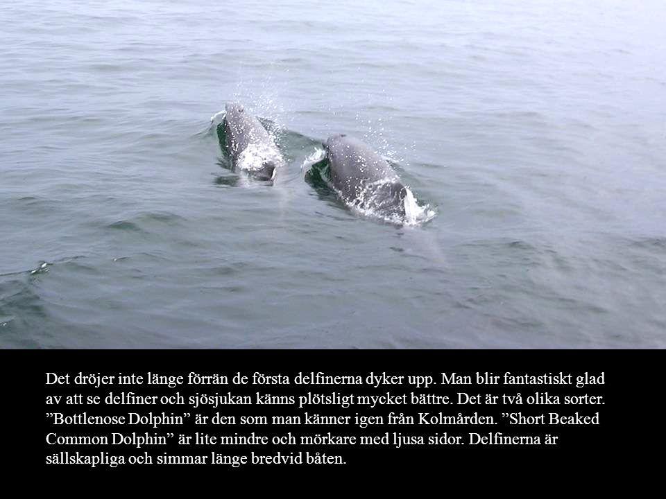Det dröjer inte länge förrän de första delfinerna dyker upp.