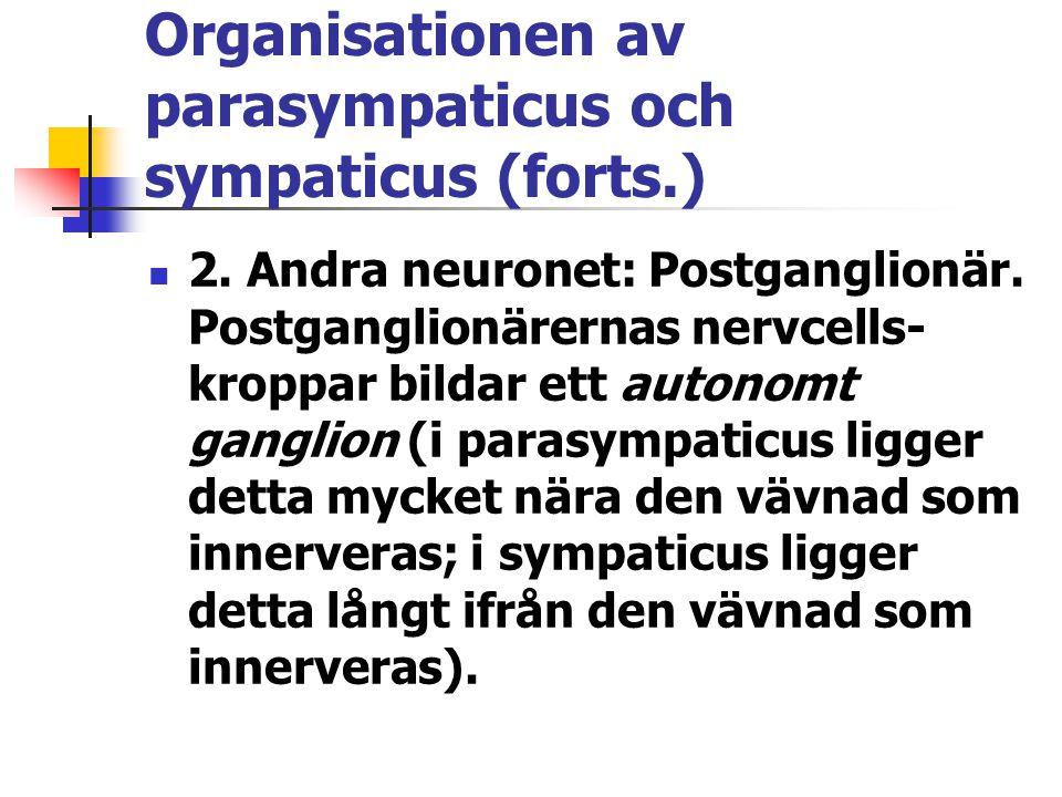 Organisationen av parasympaticus och sympaticus (forts.) 2. Andra neuronet: Postganglionär. Postganglionärernas nervcells- kroppar bildar ett autonomt