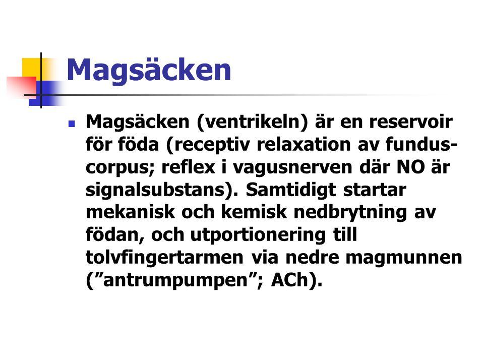 Magsäcken Magsäcken (ventrikeln) är en reservoir för föda (receptiv relaxation av fundus- corpus; reflex i vagusnerven där NO är signalsubstans). Samt