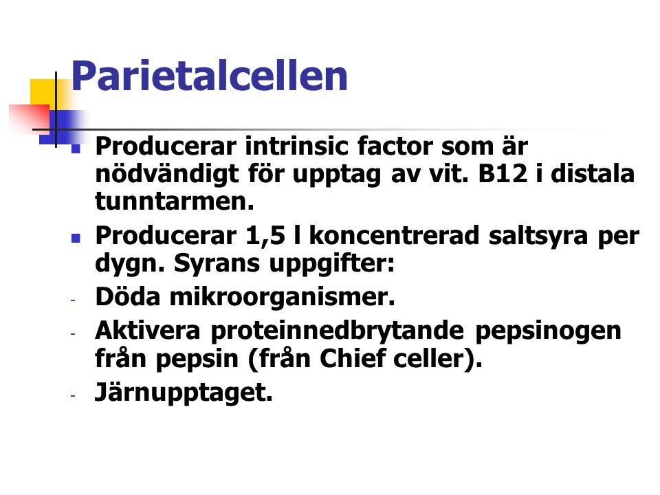 Parietalcellen Producerar intrinsic factor som är nödvändigt för upptag av vit. B12 i distala tunntarmen. Producerar 1,5 l koncentrerad saltsyra per d