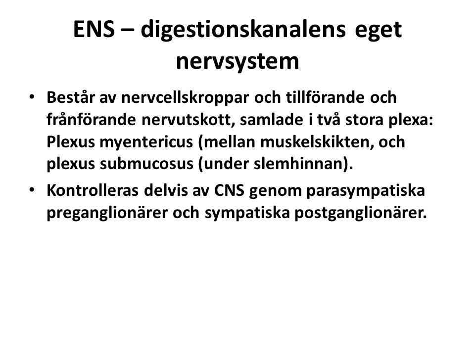 ENS – digestionskanalens eget nervsystem Består av nervcellskroppar och tillförande och frånförande nervutskott, samlade i två stora plexa: Plexus myentericus (mellan muskelskikten, och plexus submucosus (under slemhinnan).