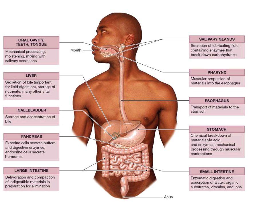 Digestionskanalens struktur Mucosa Submucosa Muscularis Nervplexa Serosa Samma grundstruktur från esophagus t.o.m.