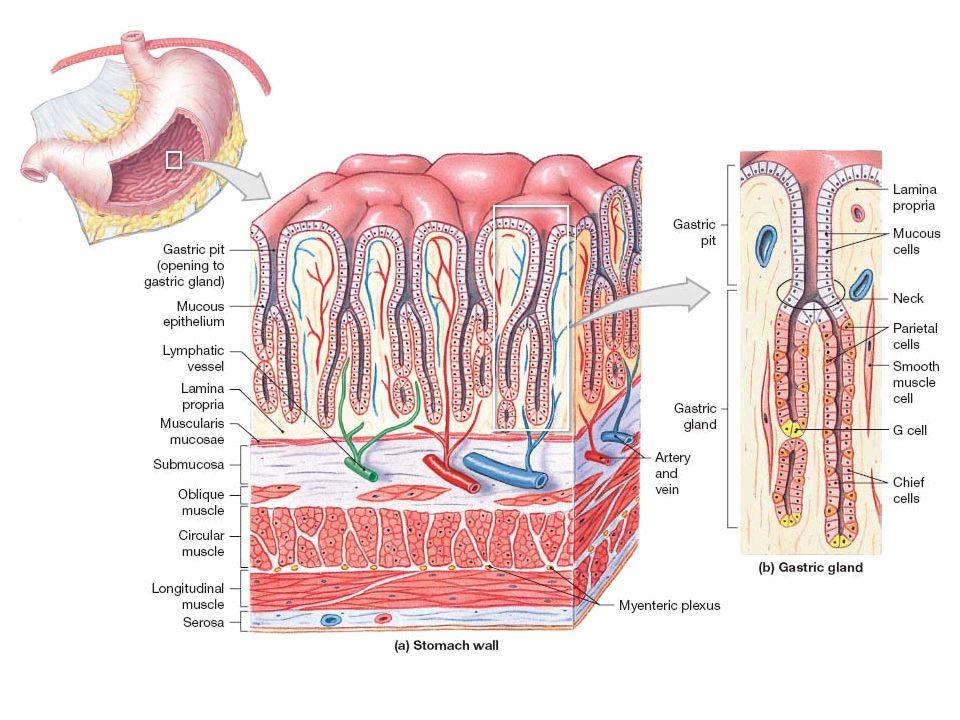 Magsäcken Magsäcken (ventrikeln) är en reservoir för föda (receptiv relaxation av fundus-corpus; reflex i vagusnerven där NO är signalsubstans).