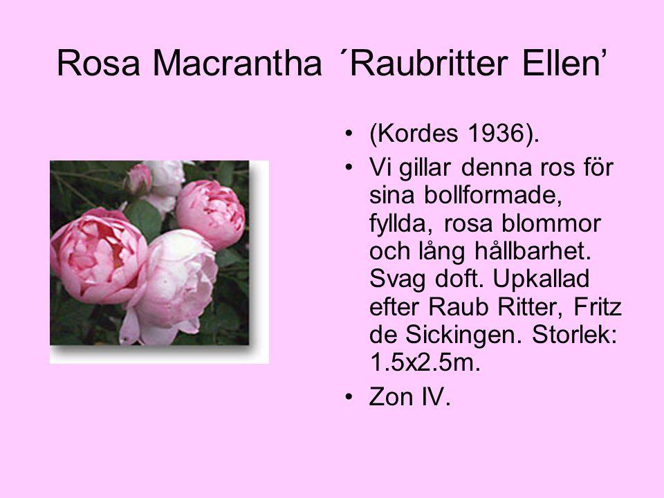 Rosa Macrantha ´Raubritter Ellen' (Kordes 1936). Vi gillar denna ros för sina bollformade, fyllda, rosa blommor och lång hållbarhet. Svag doft. Upkall