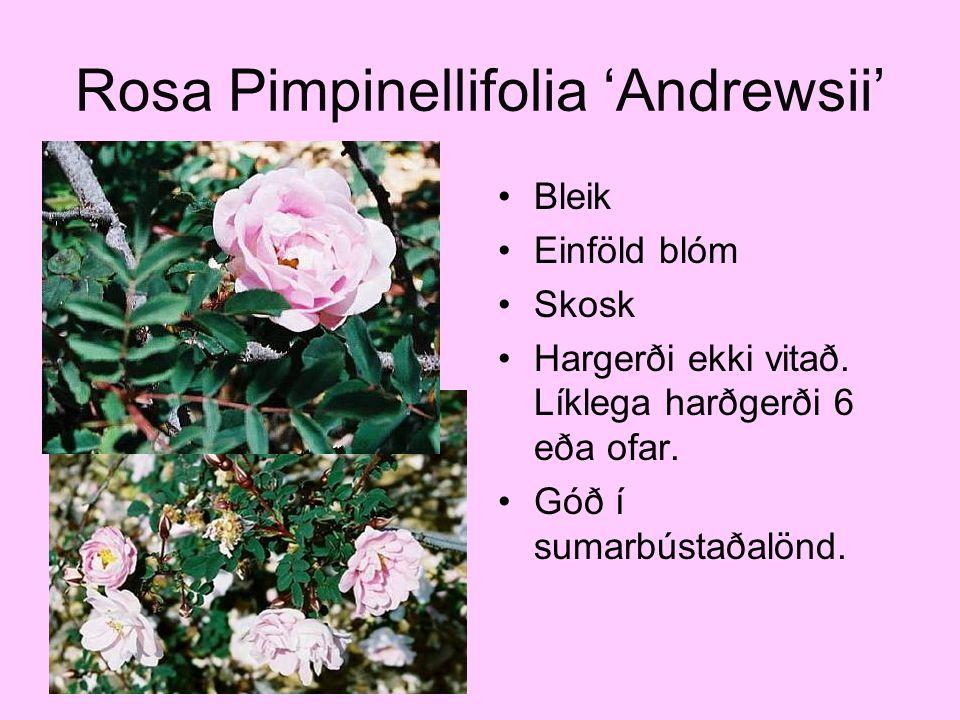 Rosa Pimpinellifolia 'Andrewsii' Bleik Einföld blóm Skosk Hargerði ekki vitað. Líklega harðgerði 6 eða ofar. Góð í sumarbústaðalönd.