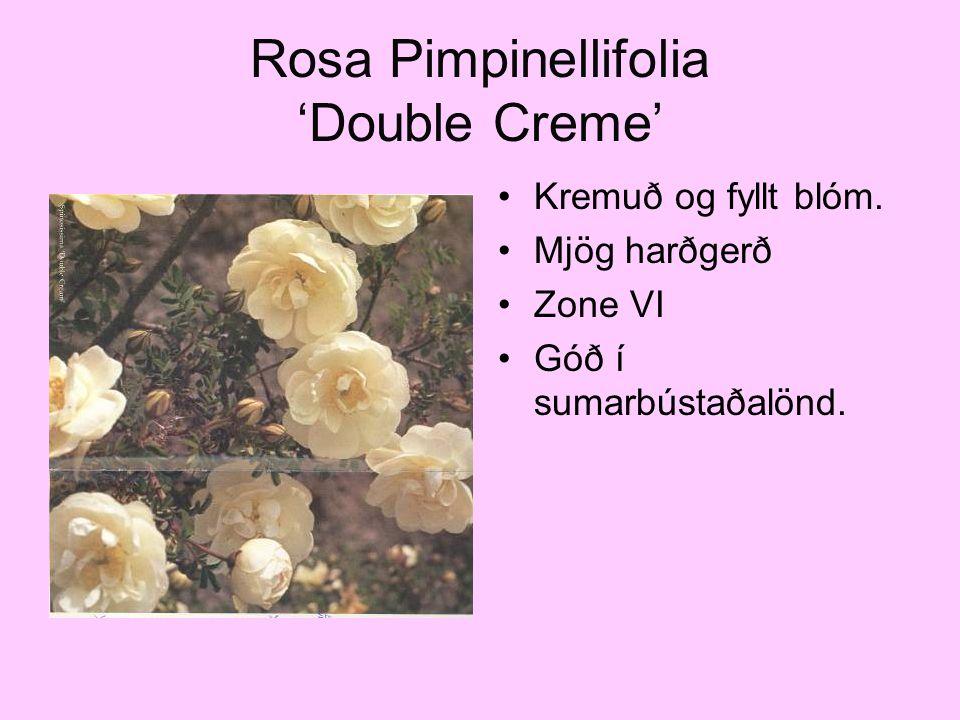 Rosa Pimpinellifolia 'Double Creme' Kremuð og fyllt blóm. Mjög harðgerð Zone VI Góð í sumarbústaðalönd.