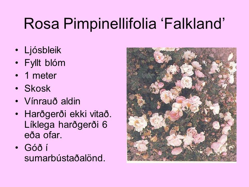 Rosa Pimpinellifolia 'Falkland' Ljósbleik Fyllt blóm 1 meter Skosk Vínrauð aldin Harðgerði ekki vitað. Líklega harðgerði 6 eða ofar. Góð í sumarbústað
