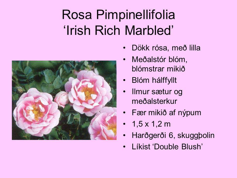 Rosa Pimpinellifolia 'Irish Rich Marbled' Dökk rósa, með lilla Meðalstór blóm, blómstrar mikið Blóm hálffyllt Ilmur sætur og meðalsterkur Fær mikið af